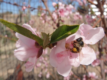 peach bee