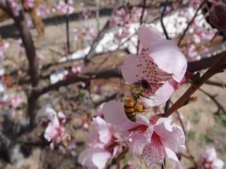 bee with pollen sacks