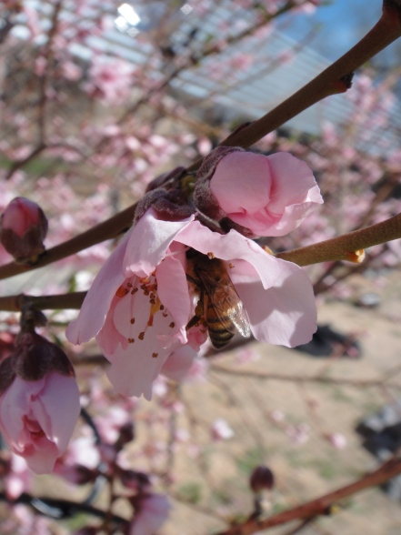 prunus persica with bee