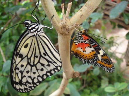 Butterfly convo