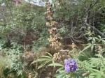 Vitex Agnus Castus Seeds and Flower