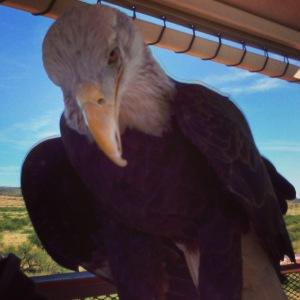 Sonora, Bald Eagle