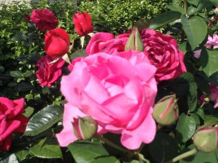 pink sister and red red roses