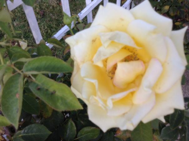 yellow rose, symbol of joy