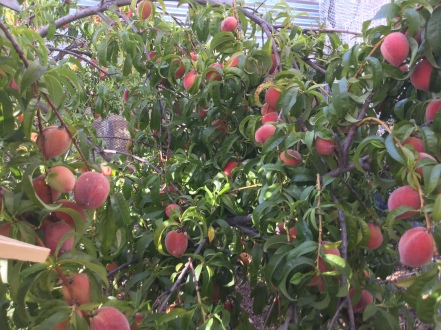 Early May peach crop
