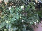 my front yard jasmine