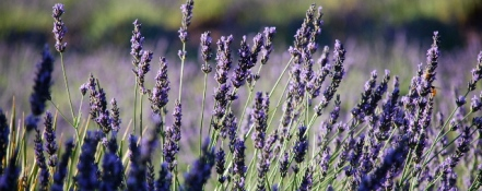Red Rock Lavender Farm