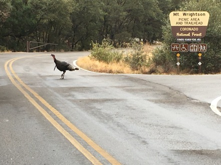 wild turkey in Madera Canyon