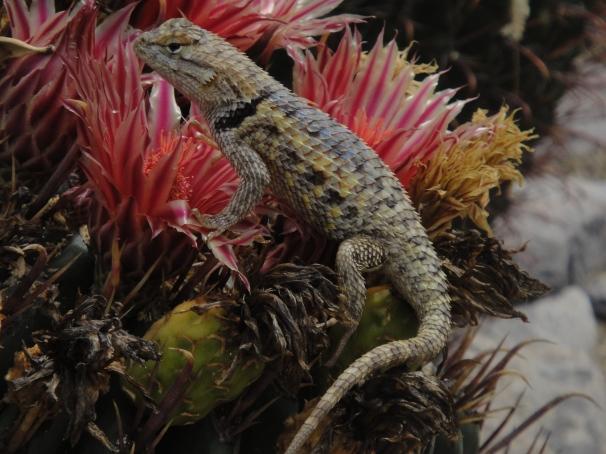 lizard on cactus